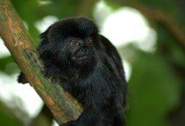 Messico, arrestato trafficante: trasportava 18 scimmie