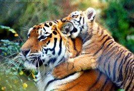 India: restrizioni turistiche a tutela delle tigri