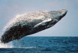 A Maui, per avvistare le balene