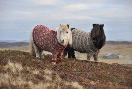Perché visitare la Scozia? I pony indossano maglioni di lana