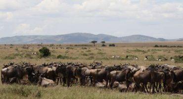 La grande migrazione degli gnu in Kenya
