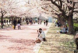 Fioritura dei ciliegi: dove andare quest'anno