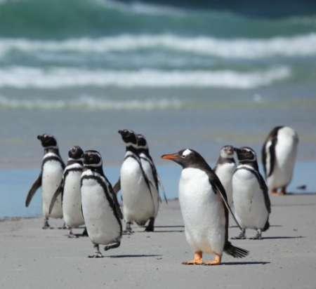 I pinguini delle Isole Falkland