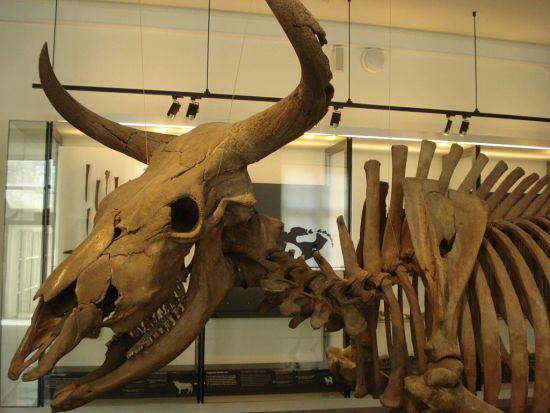 Aurochs,_Danish_National_Museum