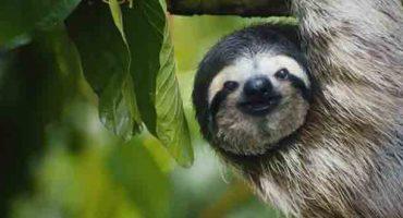 Video: il bradipo canterino della Costa Rica