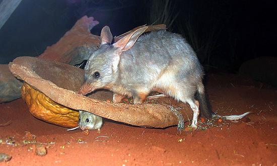 Bilby australiano