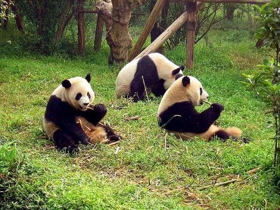 I panda giganti di Chengdu