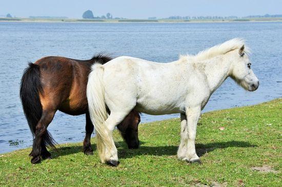 Pony delle Shetland