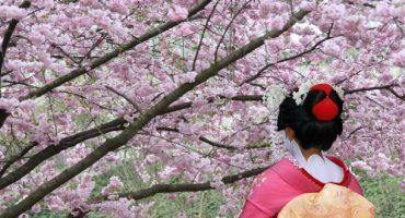 L'Hanami, la fioritura dei ciliegi in Giappone