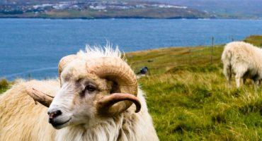 Sheep View 360: la mappatura delle isole Far Oer fatta…dalle pecore!